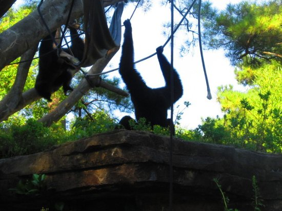 Siamang Monkeys Picture Of Riverbanks Zoo And Botanical Garden Columbia Tripadvisor
