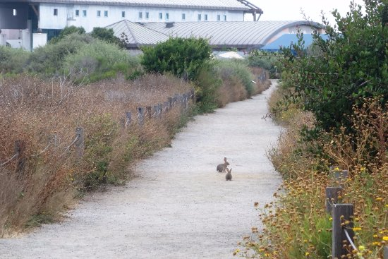Living Coast Discovery Center : 2 bunnies on path to lhe Living Coast (low building)