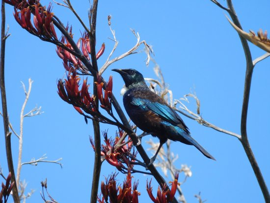 Cooks Beach, Neuseeland: Tui getting nectar from flax flowers