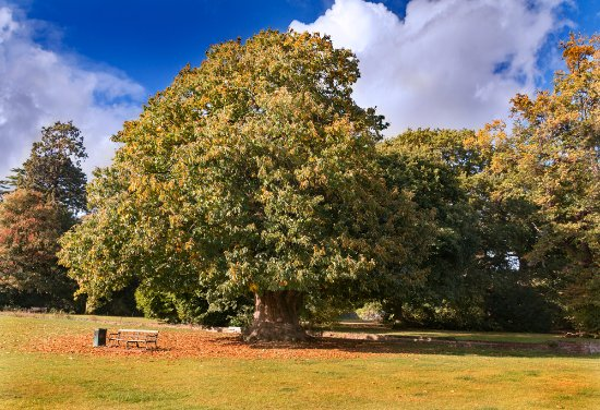 Cranford, UK: Oak
