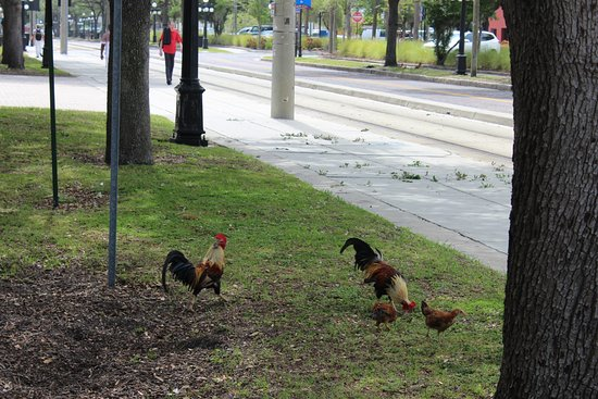 The chickens are free range and protected by the city! - Picture of ...