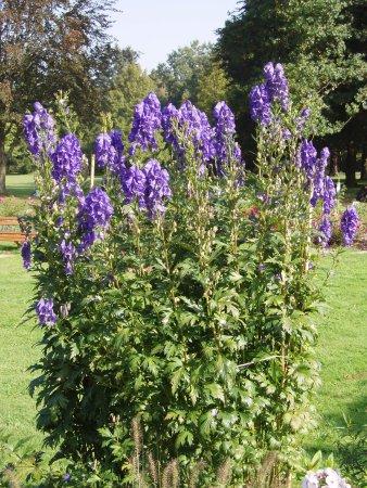 Arkona Strandhotel: Blumen (Heilpflanze Eisenhut)