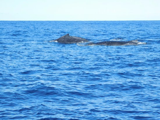 Huskisson, Australien: The whales seem to be travelling in pairs, very relaxed