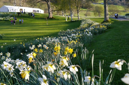 Corwen, UK: April daffodils and the wedding Marquee