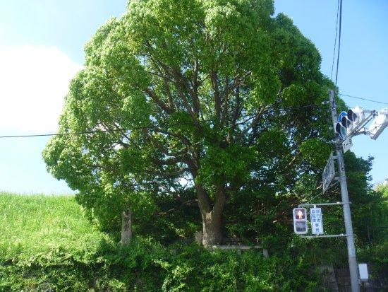 Kashiwara, Nhật Bản: 木に埋もれた石碑