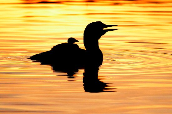 Weston, ME: Maine wildlife viewing includes loons which live on Maine lakes, ponds.