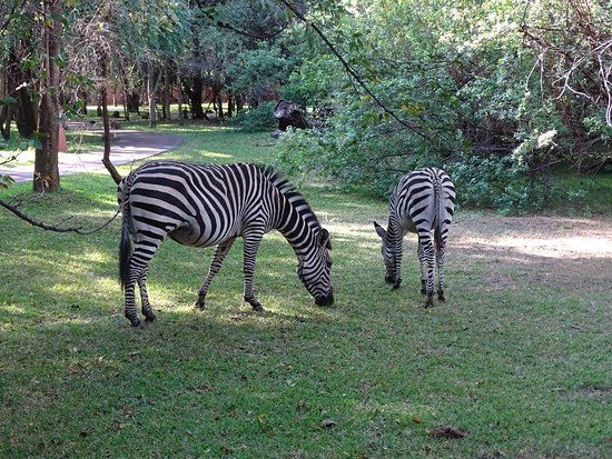 AVANI Victoria Falls Resort: Zebras acting as lawnmowers in the grounds