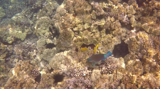 Sea Quest Snorkel Tours: That blue fish is a parrot fish, if you listen closely you can hear them munching on the coral.