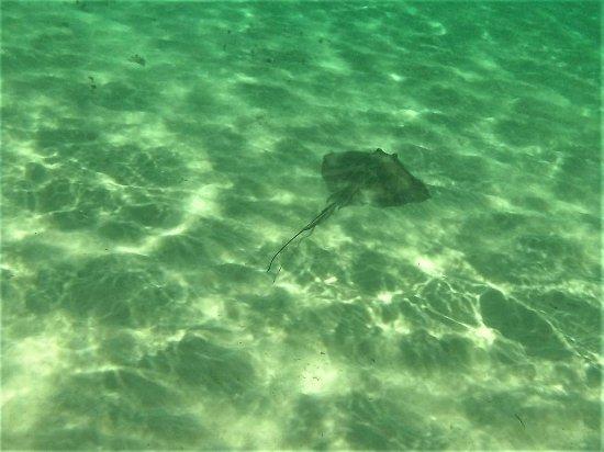 Bayahibe, Dominikanska Republiken: Stingray seen off of Saona Island