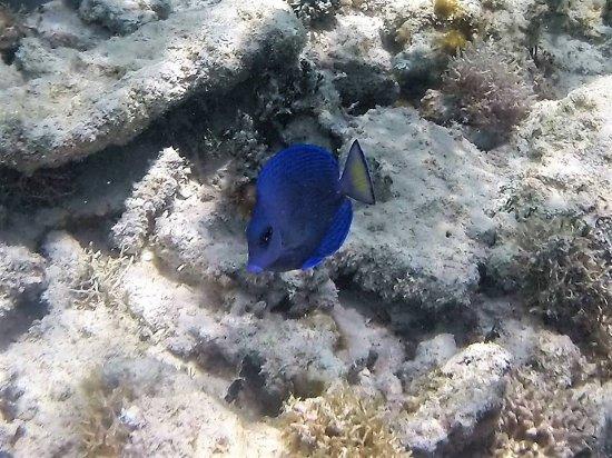 Bayahibe, Dominikanska Republiken: Tang fish seen off of Saona Island