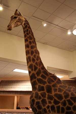 Sycamore, IL: Large African Giraffe