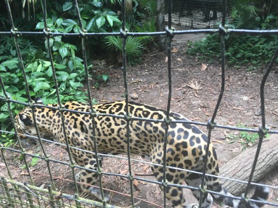 The Belize Zoo: The jaguar was active even during the middle of the day!