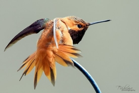 Twin Butte, Canadá: Rufous Hummingbird at Waterton River Suites