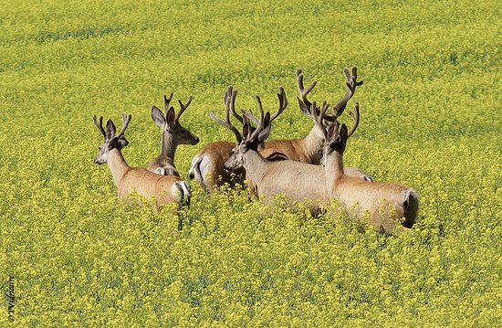 Twin Butte, Canada: Bucks in the Canola Field at the top of hill at Waterton River Suites