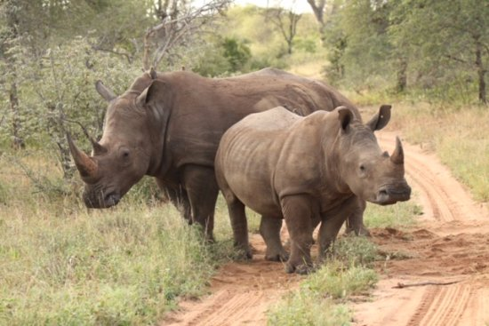 Timbavati Private Nature Reserve, Sudáfrica: Rhinos