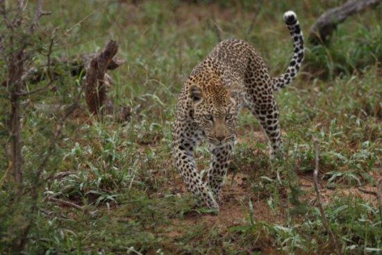 Timbavati Private Nature Reserve, Sudáfrica: Leopard