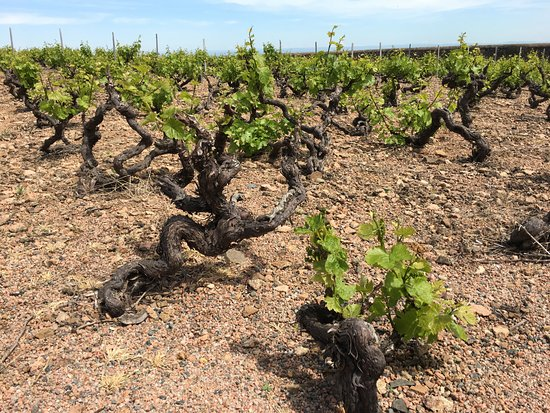 Fleurie, France: close up of vines and rocky top soil
