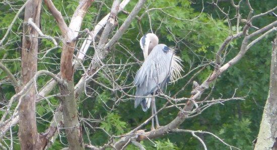 Huntley Meadows Park: a grey heron on a dead tree