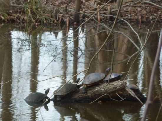 Summerton, Νότια Καρολίνα: Santee Wildlife: Turtles on a log
