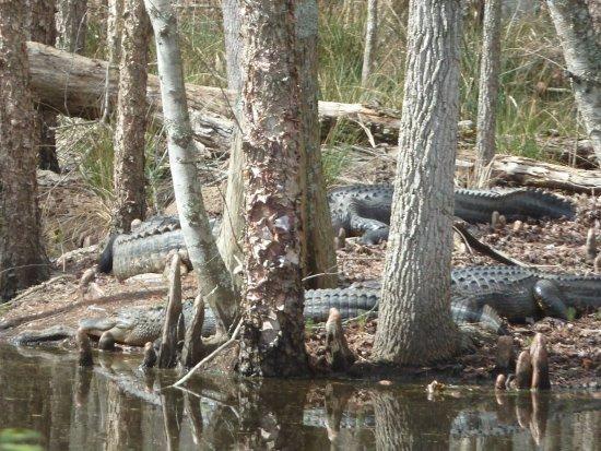 Summerton, Νότια Καρολίνα: Santee Wildlife: Lots of Alligators