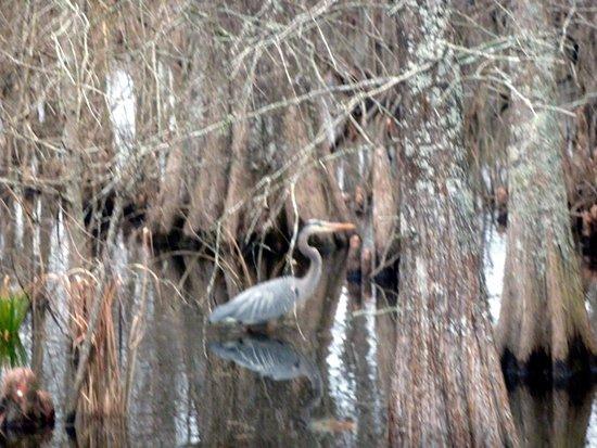 Summerton, Νότια Καρολίνα: Santee Wildlife: Great Blue Heron in the swamp