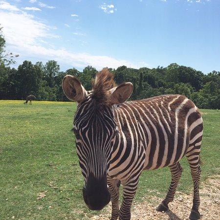 Gentry, AR: Drive Thru Safari and petting zoo