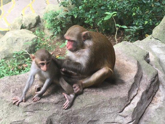Lingshui County, China: типичное обезьянье занятие )