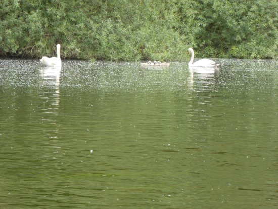 Whitchurch, UK: swans and cygnets