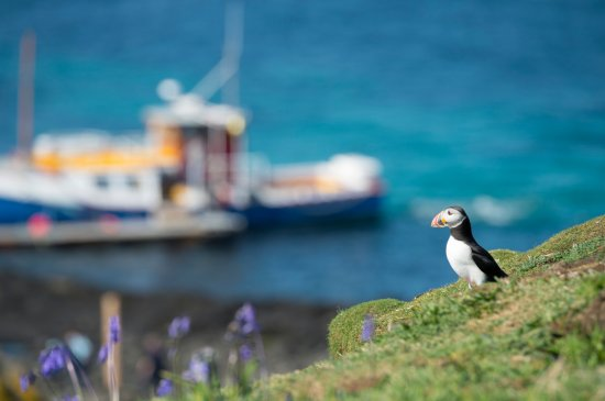 Dervaig, UK: Puffin on the Isle of Lunga