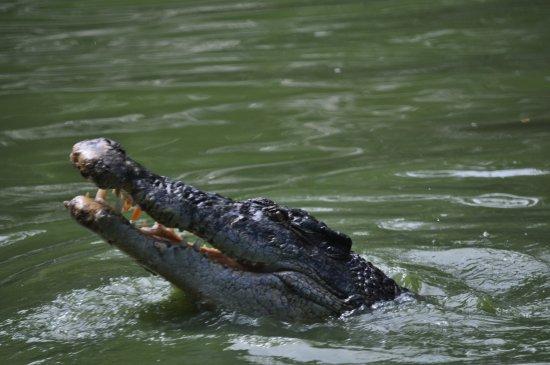 Jong's Crocodile Farm & Zoo : A crocodile waiting for the performance