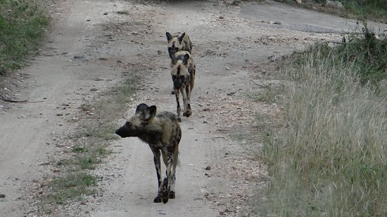 Balule Nature Reserve, South Africa: Wild dogs. Interesting animals
