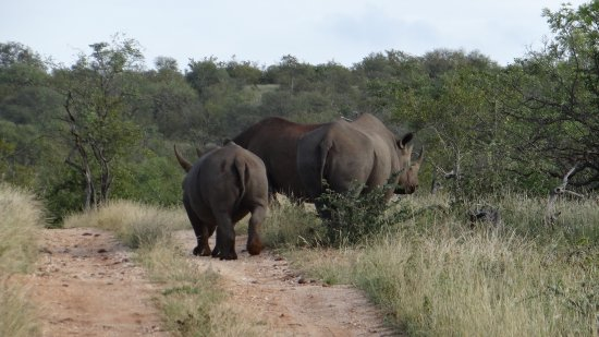 Balule Nature Reserve, South Africa: Black rhino's