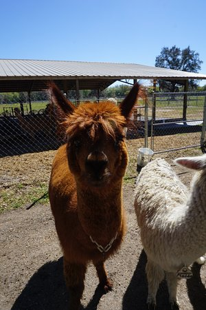Odessa, FL: One of my favorite alpaca