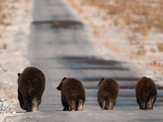 Wild Things of Wyoming: The famous grizzlies of Grand Teton National Park