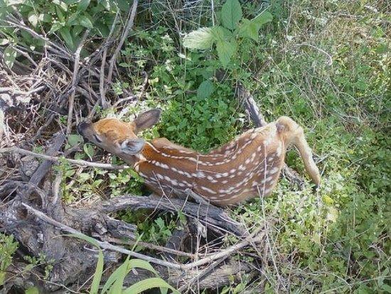 Casa Larga Vineyards: Baby deer found in vineyard.  So sweet!!!