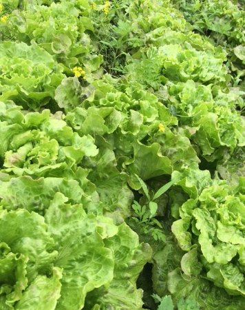 Deep River, CT: Our lovely lettuce is delicious and almost ready to harvest!