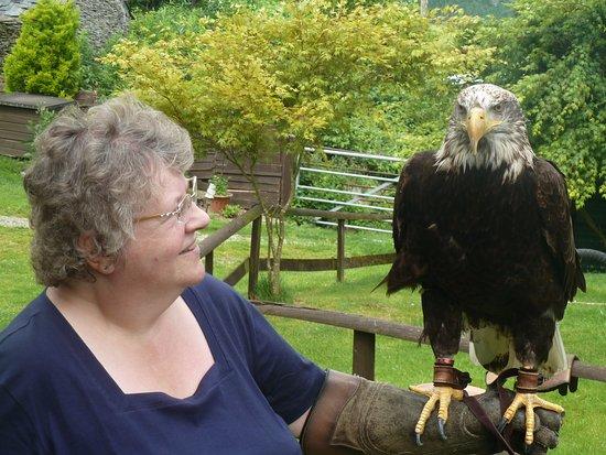 Machynlleth, UK: Bald Eagle