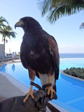 El halcón que, con su cuidador, controla las gaviotas en la piscina
