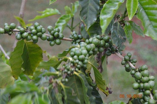 Kalaheo, ฮาวาย: Beans