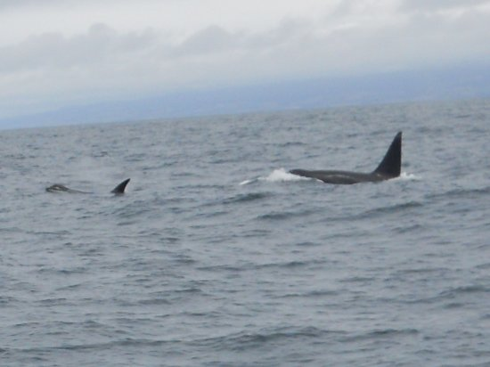 Moss Landing, CA: A group of Killer Whales