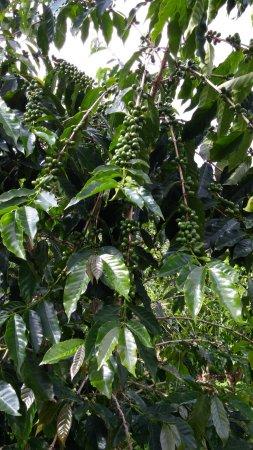 Holualoa, Hawái: Coffee Tree