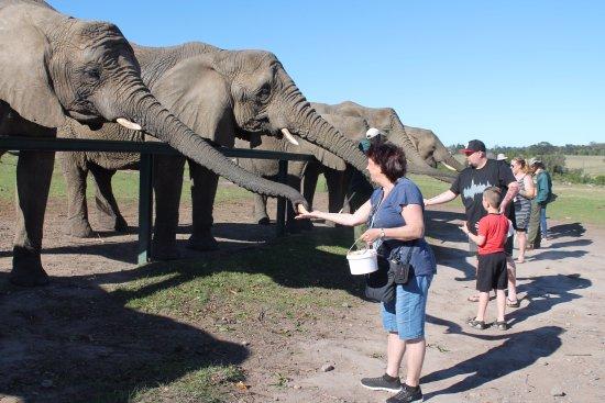 Knysna Elephant Park: Ellies line up for snack time