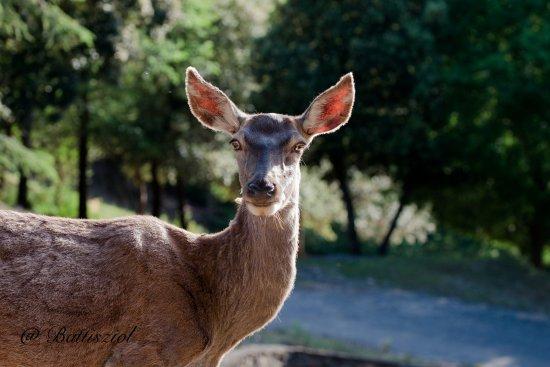 Ladern-sur-Lauquet, France: Les cerfs et biches prennent la pose le temps d'une photo !