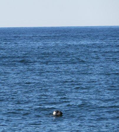 Seal at Herring Cove Beach