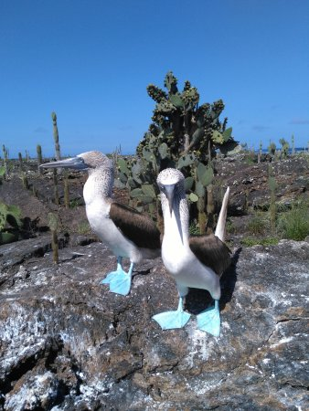 Puerto Villamil, Ecuador: Up close and personal with blue footed boobies