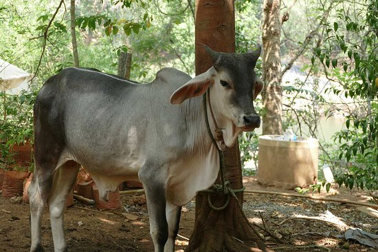 Ayurveda Yoga Villa: Sacred cows that produce the best milk in the world