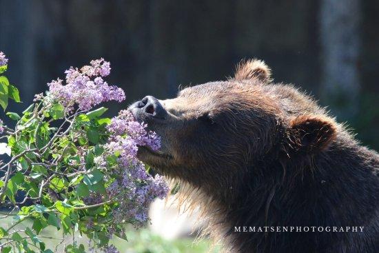 Montana Grizzly Encounter: photo2.jpg