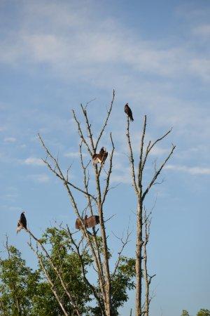 Barboursville, WV: Turkey vultures at Beech Fork State Park Cabin area