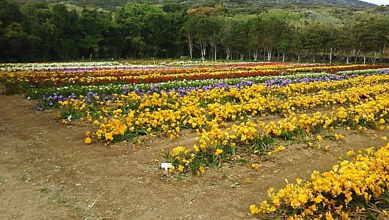 Hakkeisan Freesia Farm