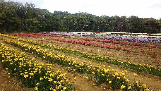 Hakkeisan Freesia Farm